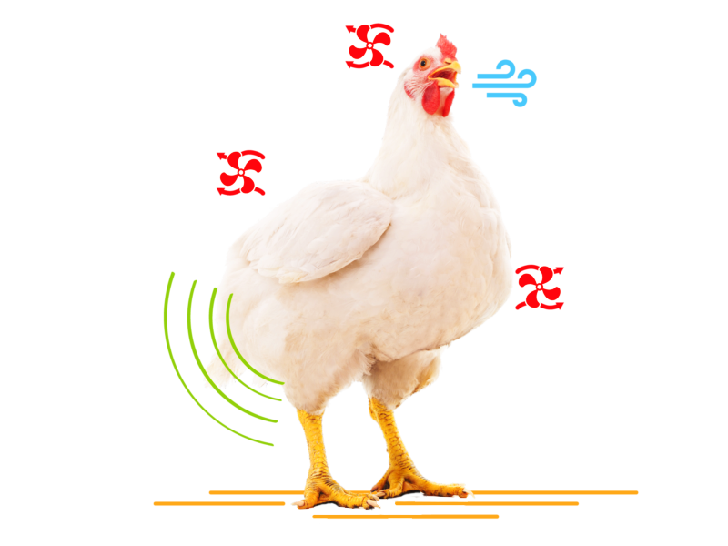 chicken coping heat stress suhu ayam panas kepanasan kandang cuaca